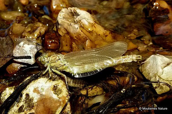 Onychogomphus sp. emergence