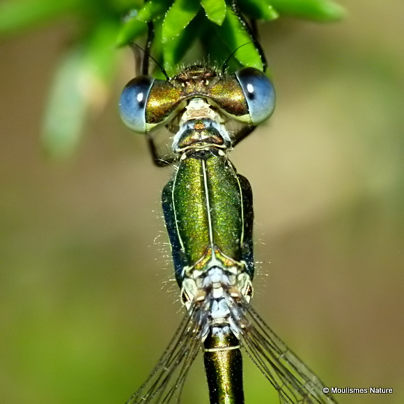 Small Emerald (Lestes virens) M, Leste verdoyant