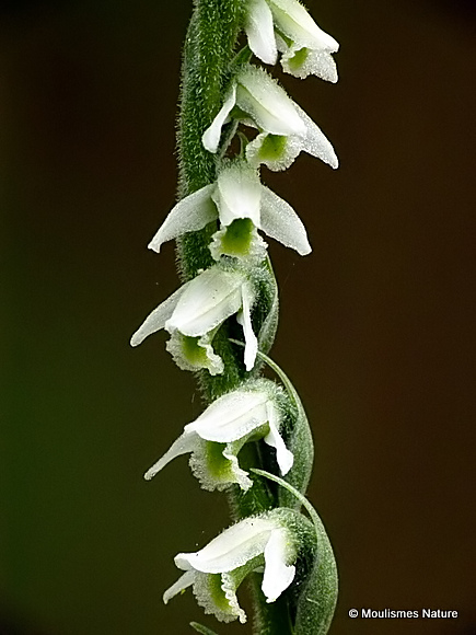 Autumn Lady's-tresses (Spiranthes spiralis)