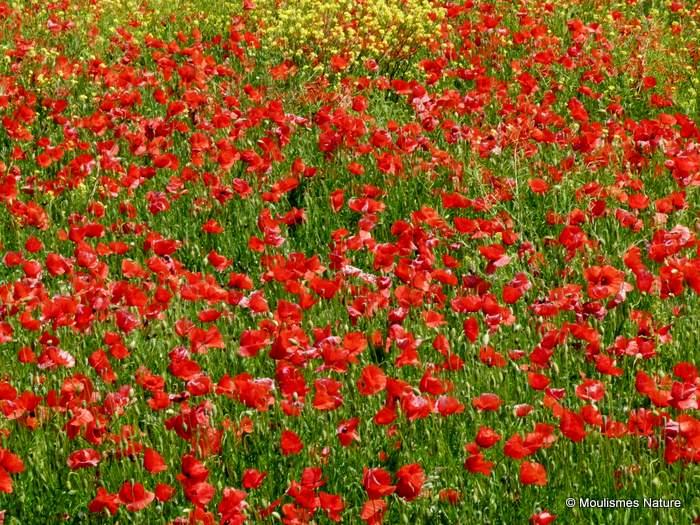 Papaver rhoeas/Papaver dubium, Common/Long-headed Poppy