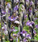 Violet Limodore (Limodorum abortivum)