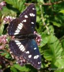 Southern White Admiral (Limenitis reducta)