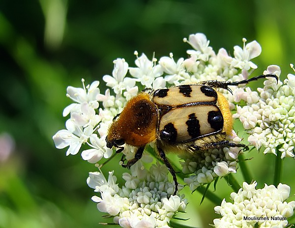 Bee Beetle sp. Trichius fasciatus/zonatus