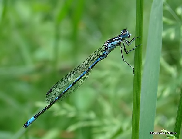 Variable Damselfly (Coenagrion pulchellum) M, Agrion gracieux
