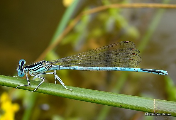 White-legged Damselfly (Platycnemis pennipes) M, Agrion a larges pattes
