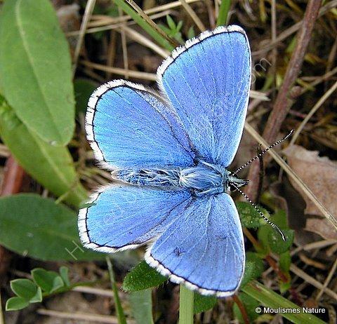 Adonis Blue (Lysandra bellargus) M, Le Bel Argus