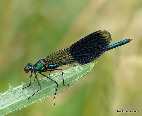 Banded Demoiselle (Calopteryx splendens) M, Calopteryx eclatant