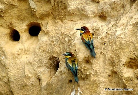 European Bee-eaters (Merops apiaster), Guepiers d'Europe
