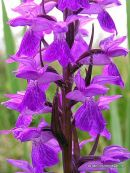 Brenne Orchid (Dactylorhiza brennensis), Orchis de Brenne