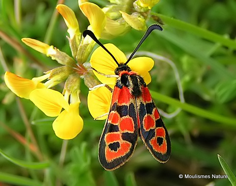 <em>Zygaenidae fausta</em>