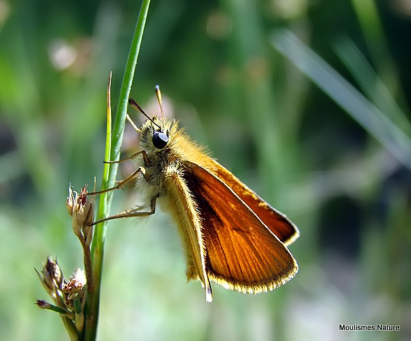Essex Skipper (Thymelicus lineolus) M, L'Hesperie du dachtyle