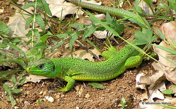 Green Lizard (Lacerta bilineata) M, Lezard vert
