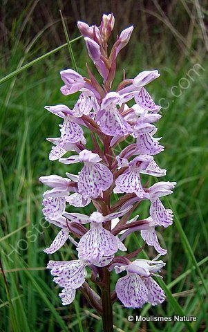 Heath Spotted Orchid (Dactylorhiza maculata ericetorum), Orchis des bruyeres
