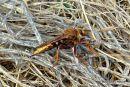 Hornet Robber-fly (Asilis crabroniformis)