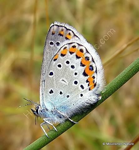 Reverdin's Blue (Plebejus argyrognomon) M, Azuré des coronilles