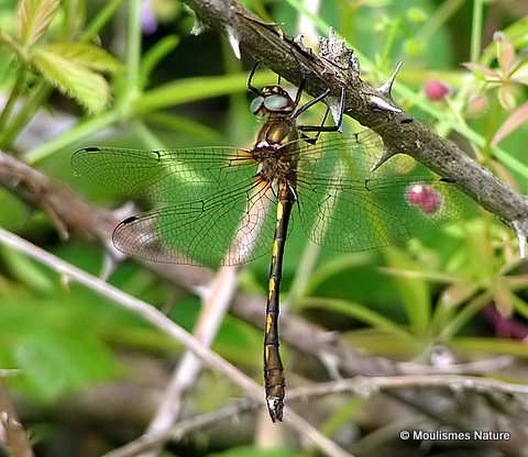 Orange-spotted Emerald (Oxygastra curtisii) M, Cordulie a corps fin