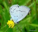 Provencal Short-tailed Blue (Everes alcetas) M, L'Azure de la faucille