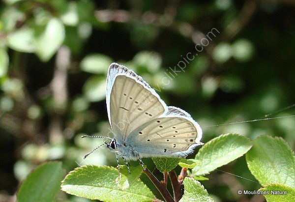 Provencal Short-tailed Blue (Everes alcetas) M