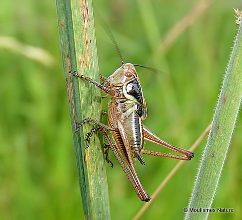 Roesel's Bush-cricket (Metrioptera roeselii) M