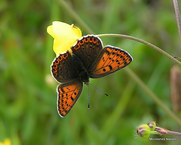 Sooty Copper (Lycaena tityrus) F