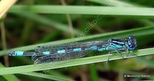 Southern Damselfly (Coenagrion mercuriale) M