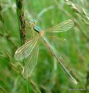 Southern Emerald (Lestes barbarus) F-ten