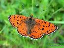 Spotted Fritillary (Melitaea didyma) M, La Melitee orangee