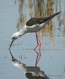 Black-winged Stilt (Himantopus himantopus) F