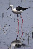 Black-winged Stilt (Himantopus himantopus) M, Echasse blanche