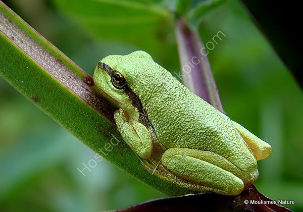 Common Tree Frog (Hyla arborea), Rainette verte