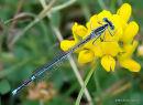 White-legged Damselfly (Platycnemis pennipes) F