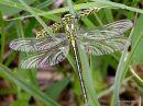 Western Clubtail (Gomphus pulchellus) F-ten