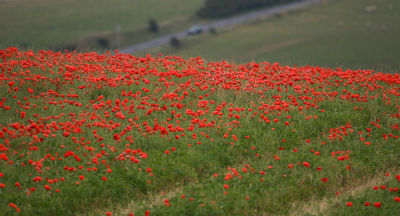 Poppy Field On Devil's Dyke