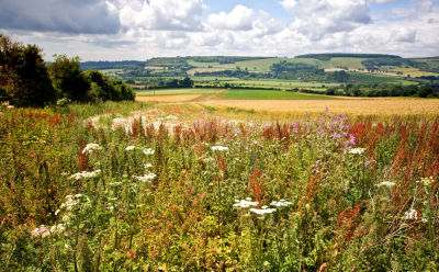 Wild Flowers on Sussex Downs
