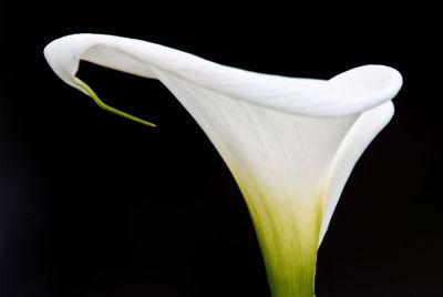 White spleandour