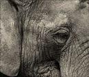 Elephant - Study 1 (Captured)