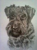 Schnauzer pet portrait from photo