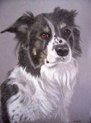 Collie pet portrait