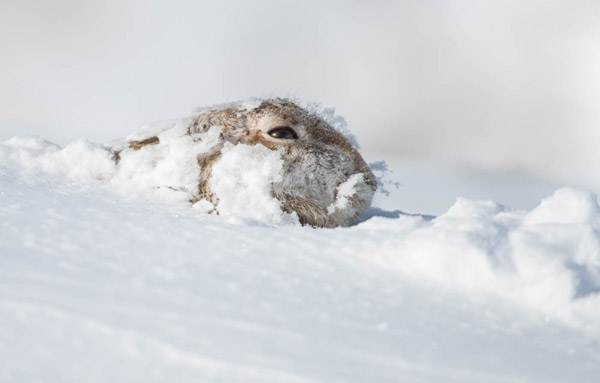 Mountain Hare in Snow