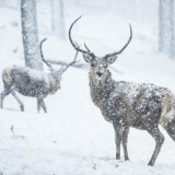 Red Deer Stags in Snowstorm