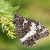 Great Banded Grayling