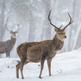 Stags in Snow