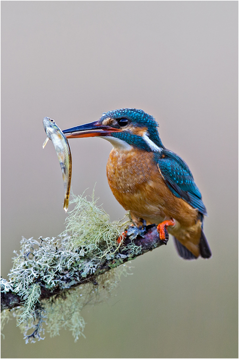 Female Kingfisher with Minnow