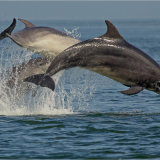 Breeching Dolphins