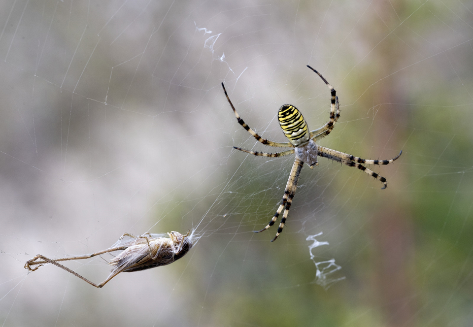 Argiope Bruennichi with Lunch