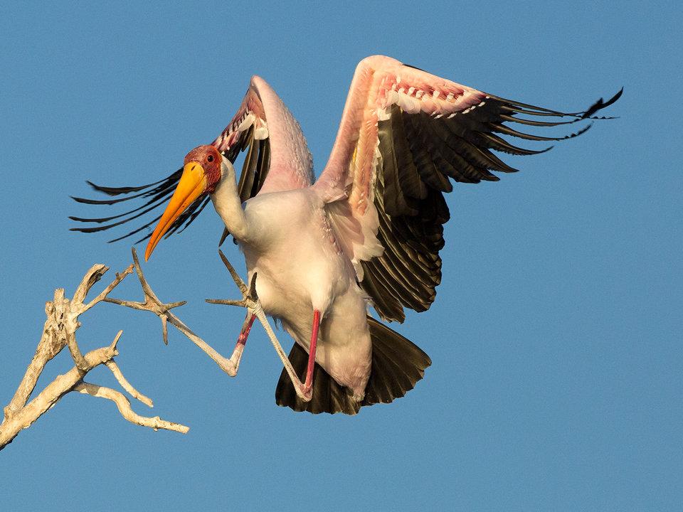 Yellowbilled Stork Landing