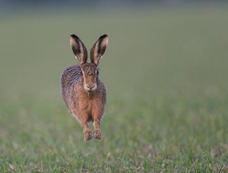 Airborne hare