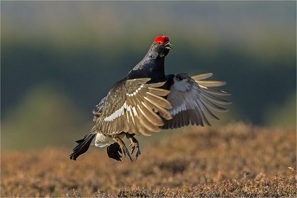 Black Grouse Displaying