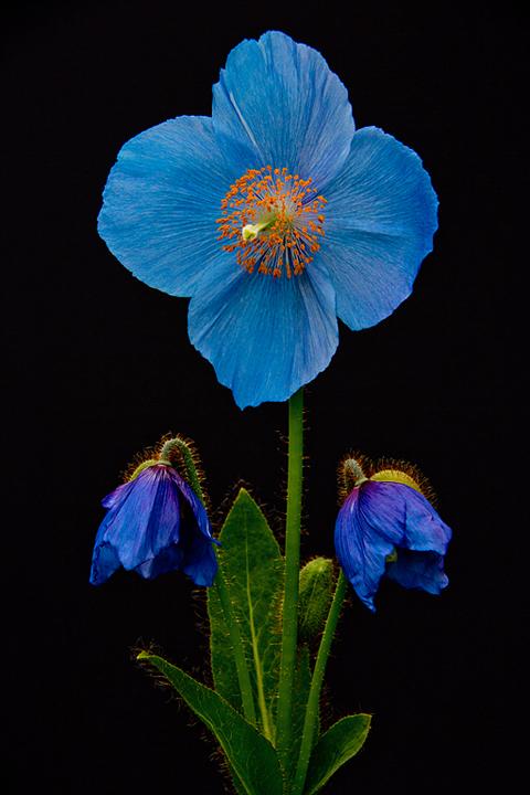 Blue Poppy with Buds