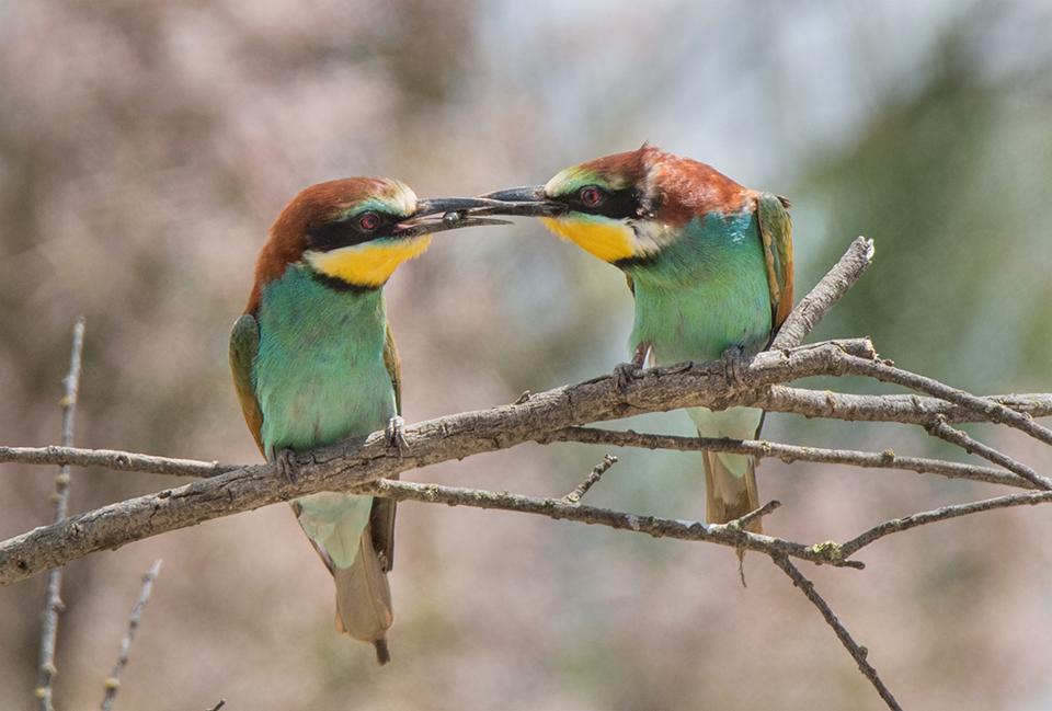 European Bee-eater Courtship